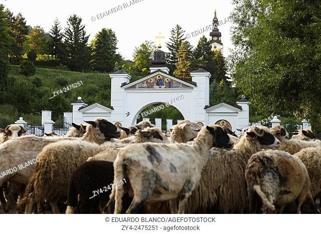 Sheep and Grgeteg, Orthodox monastery on the Fruška Gora mountain in the northern Serbia, Autonomna province of Vojvodina, Europe