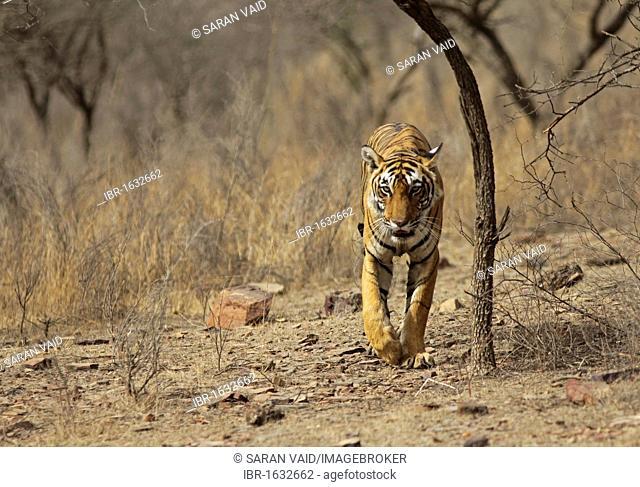 Tiger (Panthera tigris), walking in dry habitat, Ranthambore National Park, Rajasthan, India, Asia