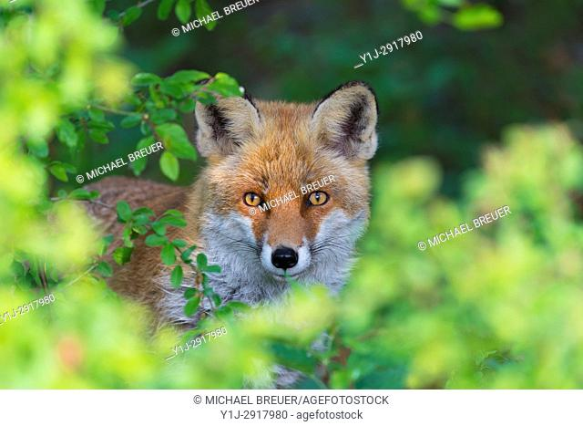 Red Fox (Vulpes vulpes), Springtime, Hesse, Germany, Europe