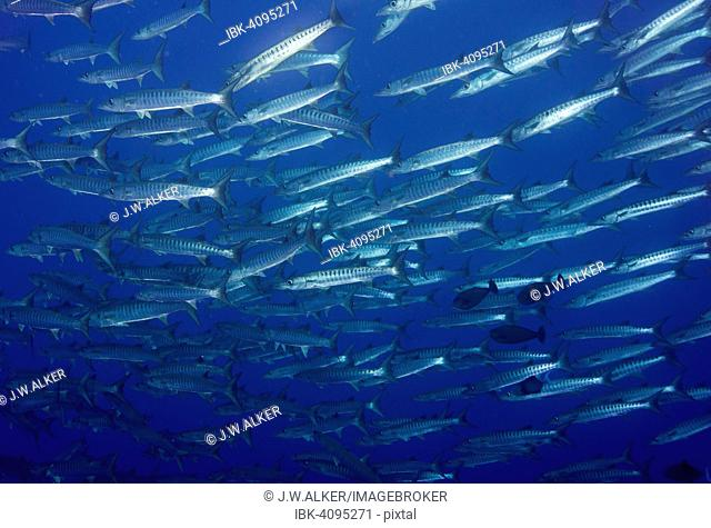 School of Blackfin Barracuda (Sphyraena qenie), Palau