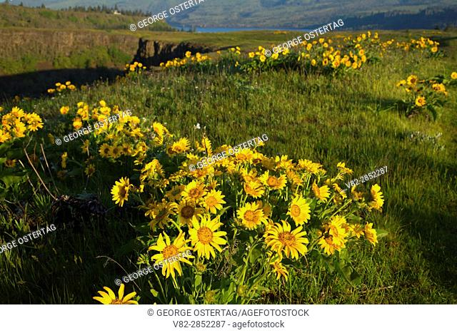 Balsamroot (Balsamorhiza deltoidea), Tom McCall Preserve, Columbia River Gorge National Scenic Area, Oregon