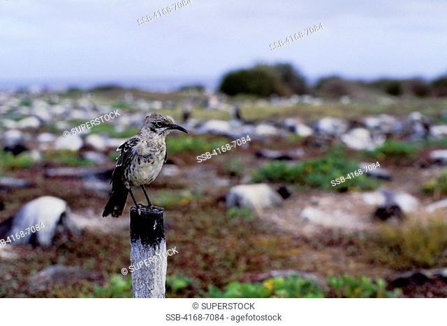 ECUADOR, GALAPAGOS ISLANDS, HOOD ESPANOLA ISLAND, MOCKINGBIRD SITTING ON POST