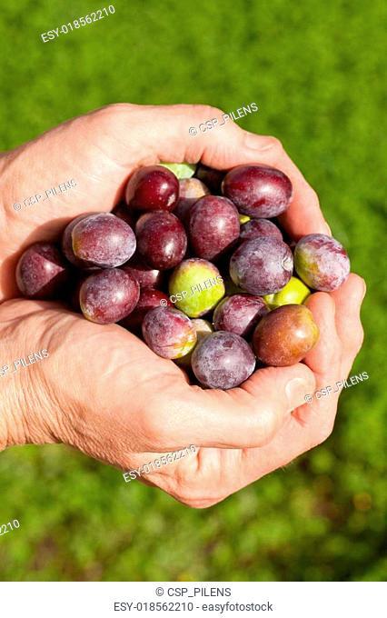 Good handful of ripe olives