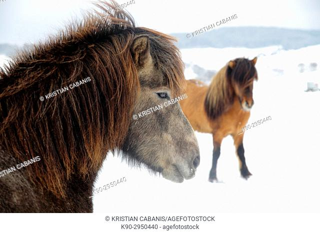 Two Icelandic horses standing behind eachother on their snow covered meadow, Attenbach, Siegerland, North-Rhein-Westphalia, Germany, Europe