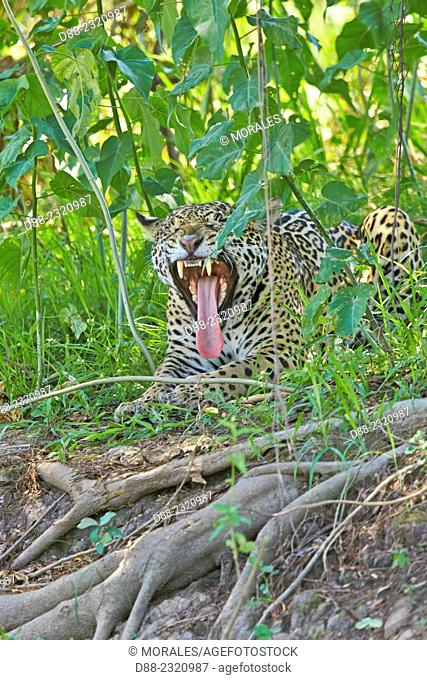 South America,Brazil,Mato Grosso,Pantanal area,jaguar (Panthera onca),relaxing on the edge of a river,yawning