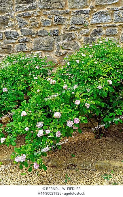 Jardin Médivial, Rose, alt