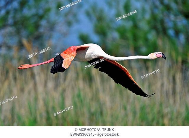 Greater flamingo, American flamingo, Caribbean Flamingo (Phoenicopterus ruber ruber), starting for flying off, USA, Florida, Everglades National Park