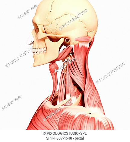 Human head musculature, computer artwork