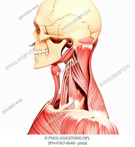 Human head musculature, computer artwork