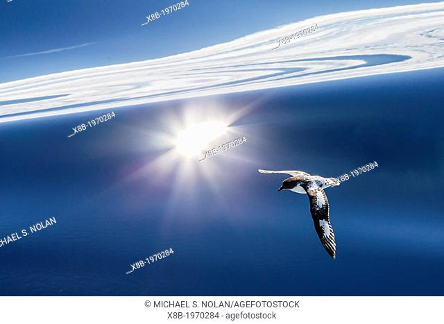 Adult cape (pintado) petrel, Daption capense, in flight, Drake Passage, Antarctica, Southern Ocean