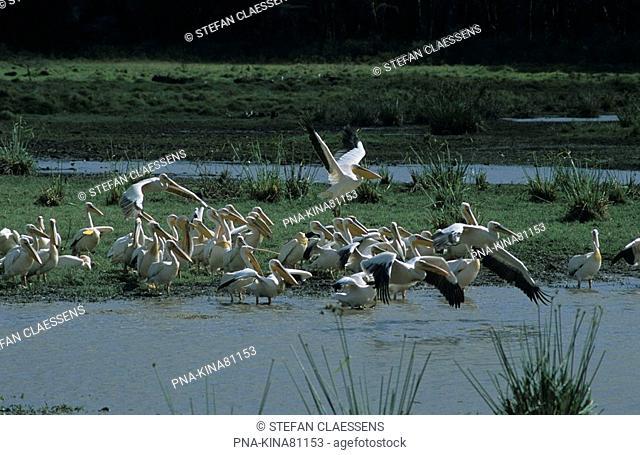 Eastern white pelican Pelecanus onocrotalus - Nakuru National Park, Lake Nakuru, Great Rift Valley, Kenya, Africa