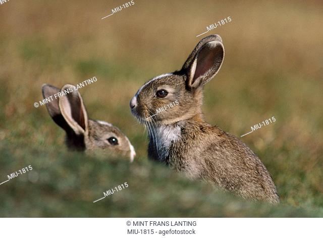 Rabbits, Lepus sp., in the Falkland Islands