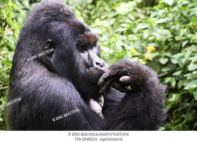 Mountain gorilla silverback Humba (Gorilla beringei beringei) licking its fingers after having eaten driver ants (Dorylus sp. )