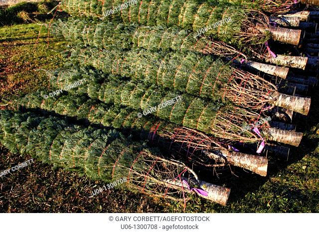 a pile of cultivated cut and wrapped Nova Scotia Christmas fir trees for export to the United States