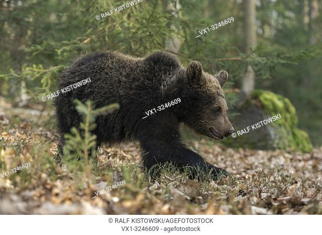 Young European Brown Bear / Europaeischer Braunbaer (Ursus arctos) walks through an open mixed forest