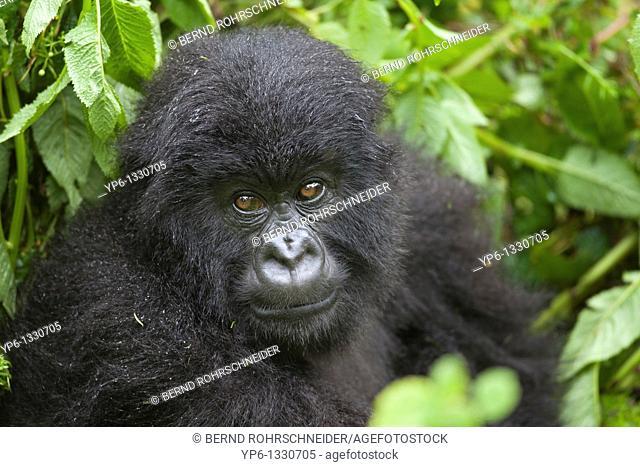 Mountain Gorilla, Gorilla beringei beringei, portrait of a young, Volcanoes National Park, Rwanda