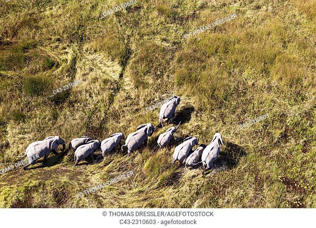 African Elephant (Loxodonta africana), breeding herd, roaming in a freshwater marsh, aerial view, Okavango Delta, Moremi Game Reserve, Botswana