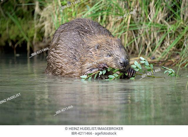 Eurasian beaver (Castor fiber) feeding, Almtal, Upper Austria, Austria