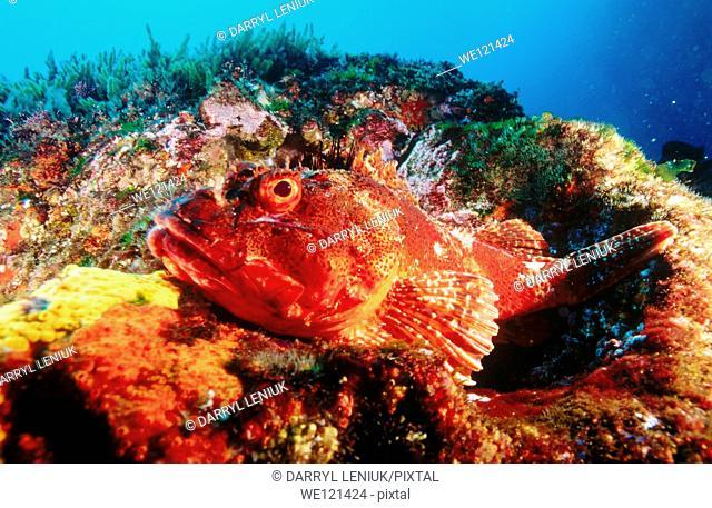Northern Scorpionfish Scorpaena cardinalis  Poor Knights Islands  New Zealand
