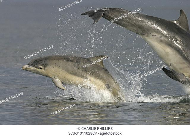 Bottlenose dolphins Tursiops truncatus truncatus:mother and calf leaping together Moray Firth, Scotland