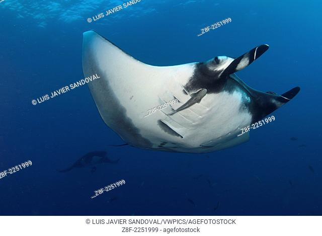 Two Manta ray, manta birostris, San Benedicto Island Revillagigedo archipelago, Pacific ocean, Mexico