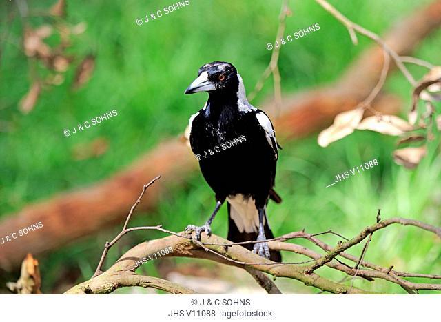 Australian Magpie, (Gymnorhina tibicen), adult on tree, Adelaide, South Australia, Australia