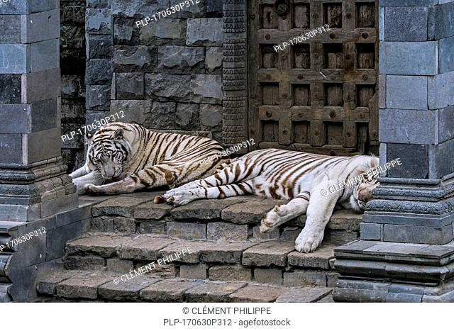 Two white tigers / bleached tiger (Panthera tigris), native to India, resting at temple
