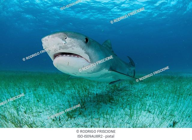 Low angle underwater view of tiger shark swimming near seagrass covered seabed, Tiger Beach, Bahamas