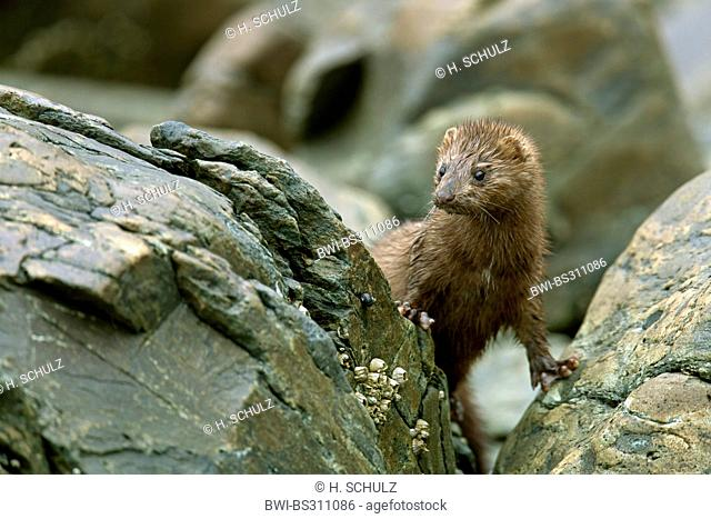 American mink (Mustela vison), peering from behind a rock, USA, Alaska, Tongass National Forest