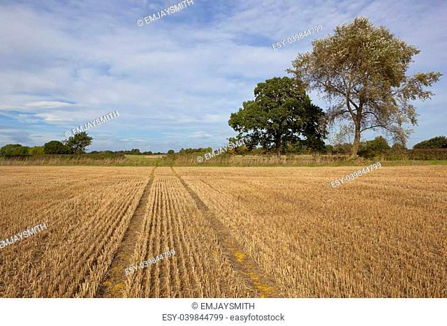 an agricultural landscape in late summer with a stubble field oak tree and white poplar under a blue cloudy sky in yorkshire england