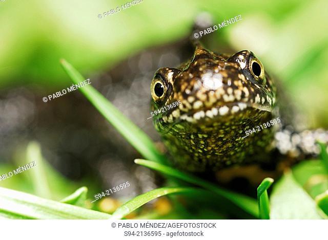 Crested newt (Triturus cristatus) in a ponds of Zaluzi near Cesky Krumlov, Bohemia, Czech Republic