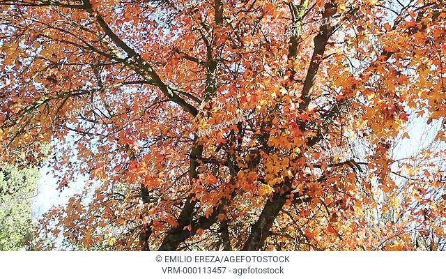 Maple tree in Autumn. Lleida, Catalonia, Spain