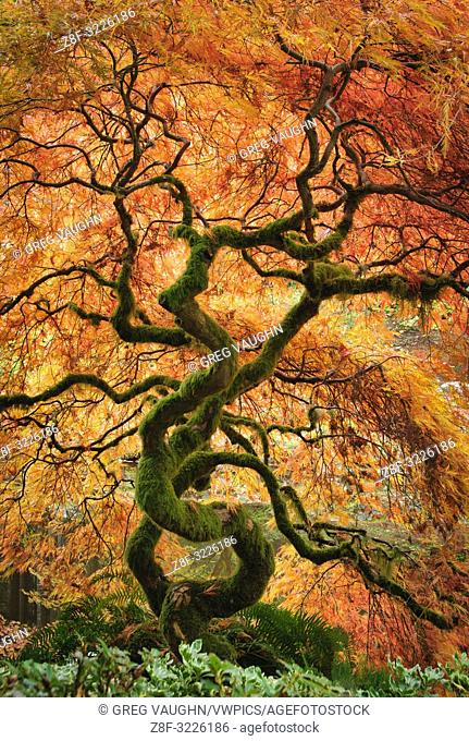 Laceleaf maple tree with fall color in the Japanese Garden at Bloedel Reserve, Bainbridge Island, Washington