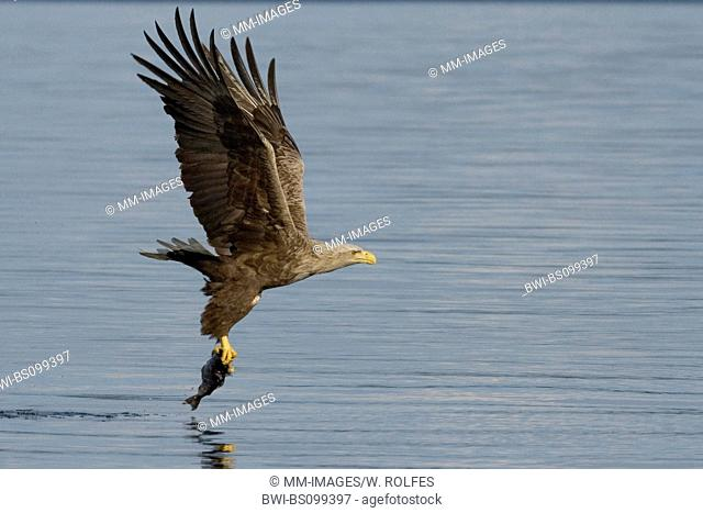 white-tailed sea eagle (Haliaeetus albicilla), flying with fish, Norway, Flatanger