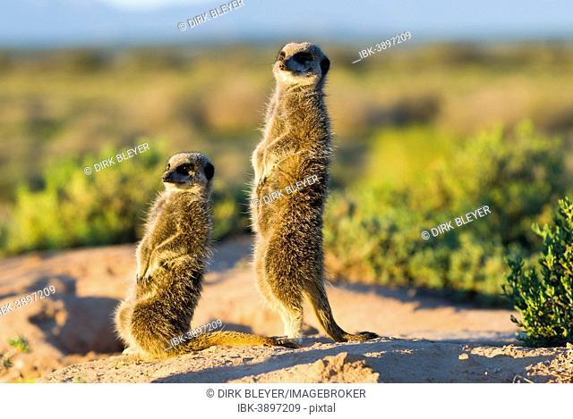 Meerkats (Suricata suricatta) in the morning light, Karoo semi-desert, Little Karoo, Western Cape, South Africa