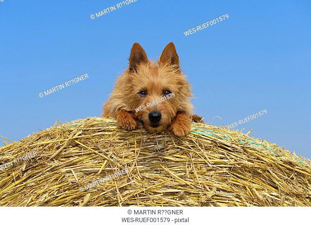 Australian Terrier sitting on hay bale