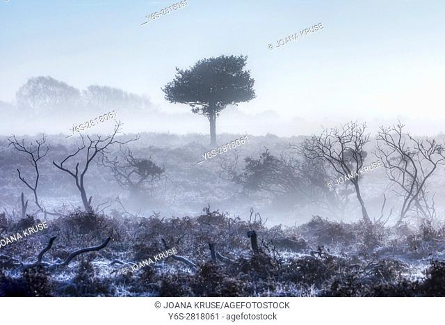a tree in the fog on a frosty morning in Wilverley, New Forest, Hampshire, England, UK