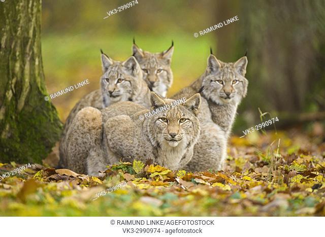 Eurasian Lynx, Lynx lynx, Female with Three Kittens, Germany, Europe