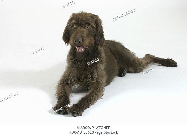 German Broken-coated Pointing Dog
