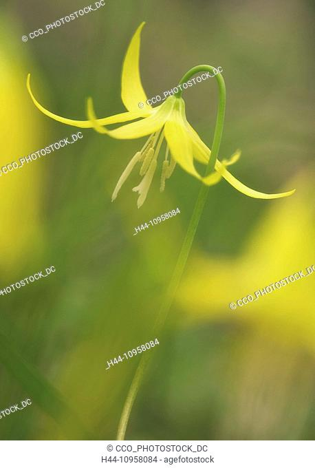 Glacier Lily (Erythronium grandiflorum) growing in the wild in the Columbia River Gorge, Oregon. USA