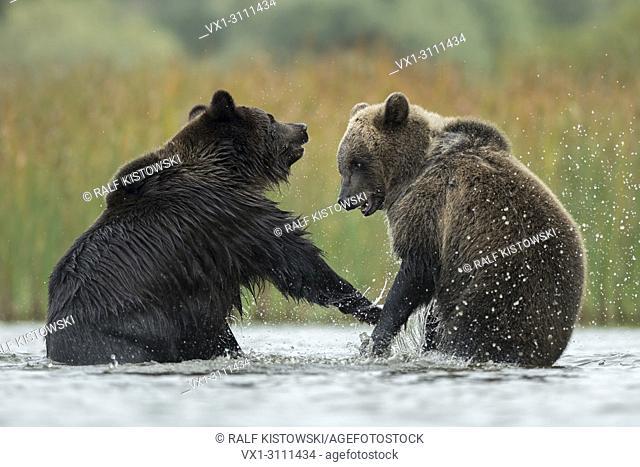 Eurasian Brown Bears / Europaeische Braunbaeren ( Ursus arctos ) fighting, struggling, in fight, standing on hind legs in the shallow water of a lake, Europe