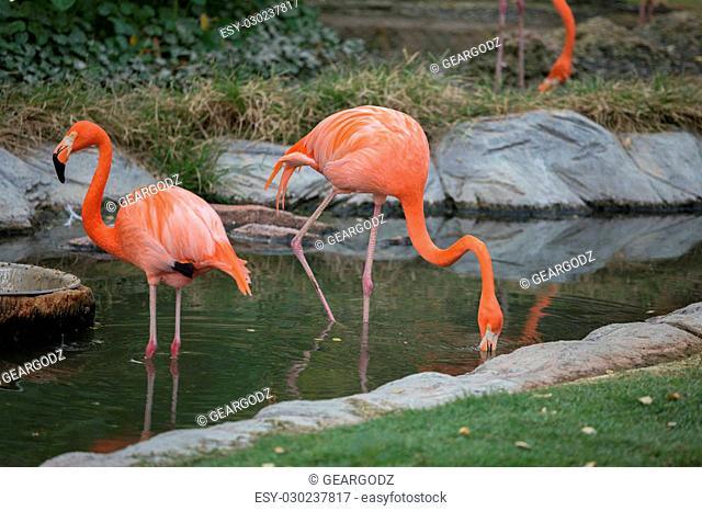 American Flamingos or Caribbean flamingos ( Phoenicopterus ruber ruber)