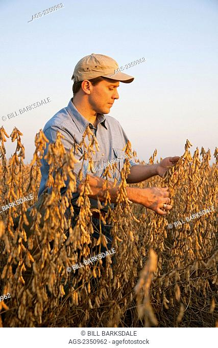 Agriculture - A farmer (grower) inspects his mature harvest ready crop of soybeans in early morning light / Arkansas, USA