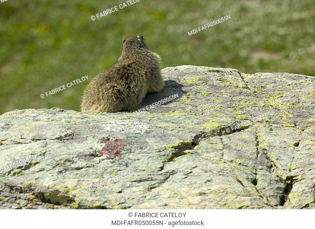 In the natural regional park of Queyras, marmot showing its back on a rock
