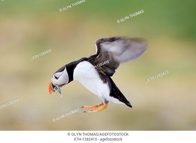 Puffin flying with fish in its beak