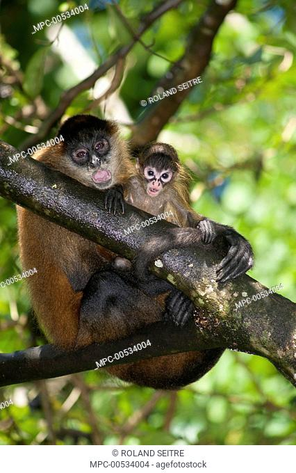 Black-handed Spider Monkey (Ateles geoffroyi) mother and juvenile, Reserva Biologica Bosque Escondido, Peninsula de Nicoya, Costa Rica