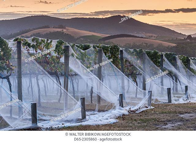 Australia, Victoria, VIC, Yarra Valley, vineyard vines under mesh fabric, dusk