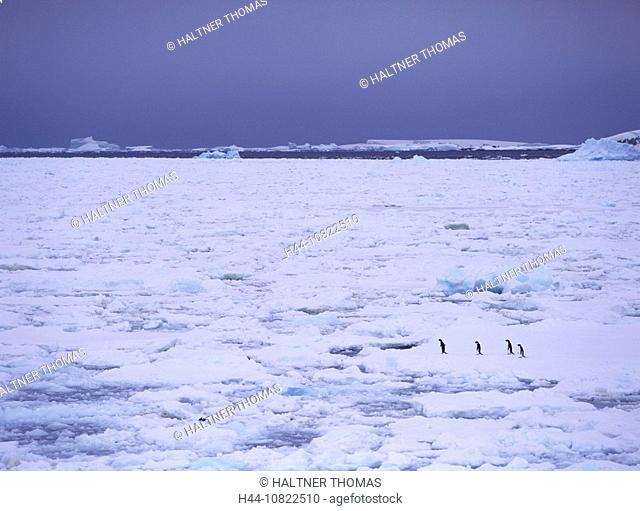 Adelie penguin, Adelie penguin, Pygoscelis adeliae, penguins, penguin, ice, drift ice, sea, Antarctic, Antarctic, Anta