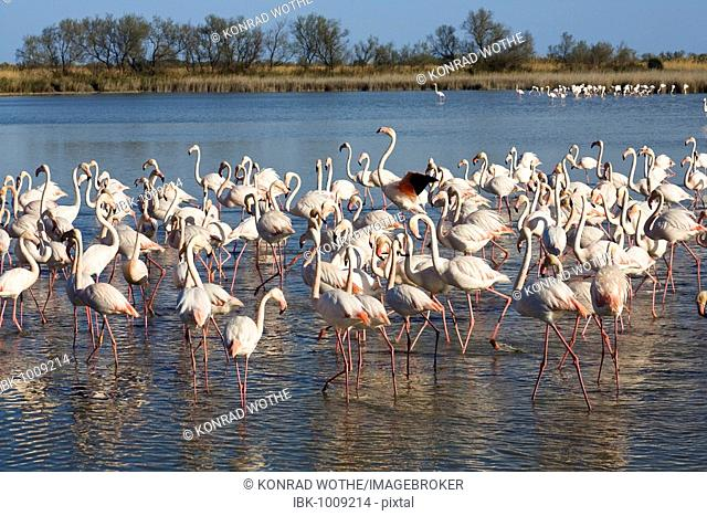 American or Caribbean Flamingos (Phoenicopterus ruber), Camargue, Southern France, Europe