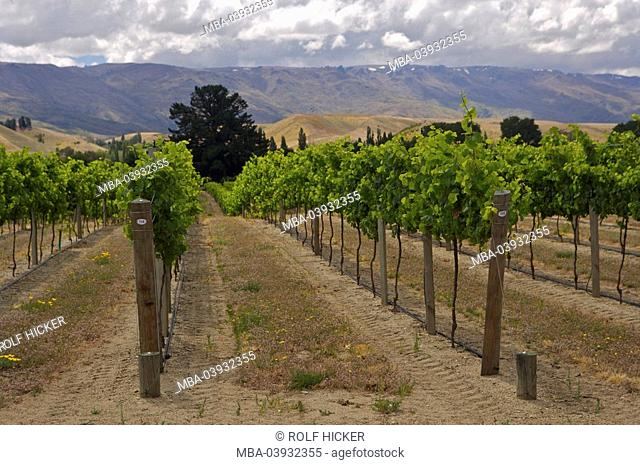 New Zealand, South-island, Central Otago, Cromwell, vineyards, landscape, agriculture, economy, agriculture, cultivation, wine-growing, wine-region